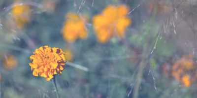 A focused, detailed photograph of a small, orange-yellow carnation positioned in the center-left of the image. Behind the single flower, a background of a very blurred, out of focus field of multiple other orange-yellow carnations are situated. The photograph is vinegetted with tiny strands of flower stems.