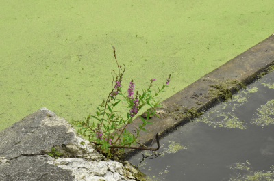 On the bottom left corner shows a big gray triangular shaped rock with a crack horizontally through the middle, with few branches of purple flowers and green leaves appearing on the rock's right side. There is a gray diagonal curb that starts from the right side of the rock to the upper-right corner of the image. On the right side shows a pond with dark grey water with patches of bright lime green moss floating on top of it. On the left side shows another pond fully covered with the same green moss.